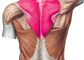 musculus-trapezius